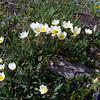 Mountain Avens, with a little dash of Indian Paintbrush and Alpine Speedwell in the right-hand corner.