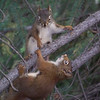 Here is some Red-Squirrel head-bopping in action!