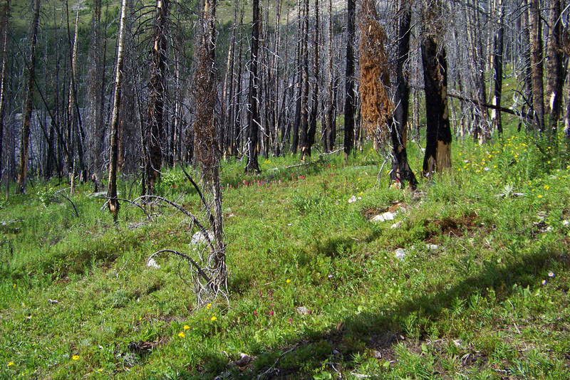 We pass through a controlled-burn site -- the Park Service is experimenting to see if young Whitebark Pine trees manage to fight off the Mountain Pine Bettle better than older trees.  A side benefit is the lush wildflower habitat.