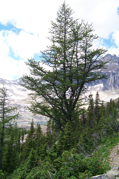 The Lyall's Larch (Larix lyallii) is a deciduous conifer masquerading as an evergreen.  Its needles turn a translucent gold in September before they fall.  Joel gave us a lesson on how the trees adapt to the harsh sub-alpine environment.