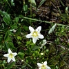 Fringed Grass of Parnassus (Parnassia fimbriata)