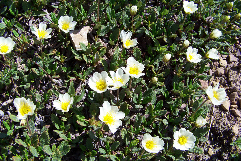 Mountain Avens (Dryas octopetala) is probably the most common plant we see in the alpine zone.