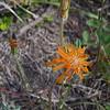 Orange Agoseris (Agoseris aurantiaca)