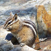 Least Chipmunk (Neotamias minimus)