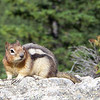 Golden-mantled Ground Squirrel (Spermophilus lateralis) -- they are very tame here, trying to beg snacks from the massive numbers of tourists that visit during the day.