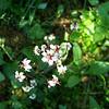 Redstem Saxifrage (Saxifraga lyallii)