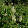 Seed heads of the Western Anemone (Pulsatilla occidentalis)