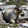 Hoary Marmot digging with some very impressive feet and claws