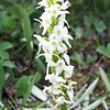Tall White Bog Orchid (Platanthera dilatata)