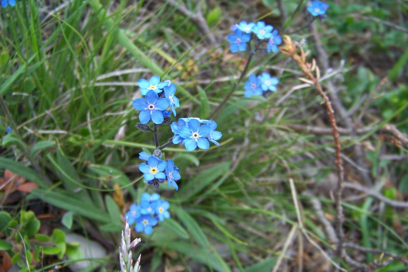 Mountain Forget-me-not (Myosotis asiatica)