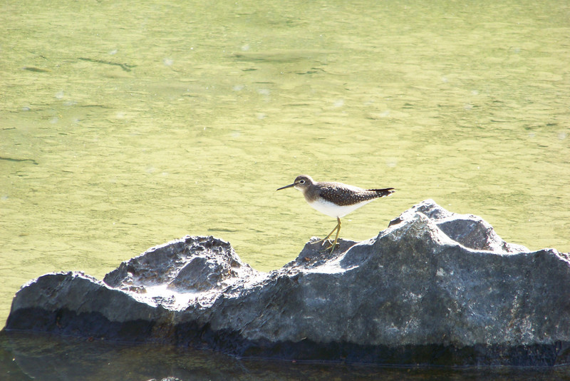 We flush a Solitary Sandpiper (Tringa solitaria) on the way to Larix Lake...the bird flies to a rock not too far from the shore and gives us quite a long look.