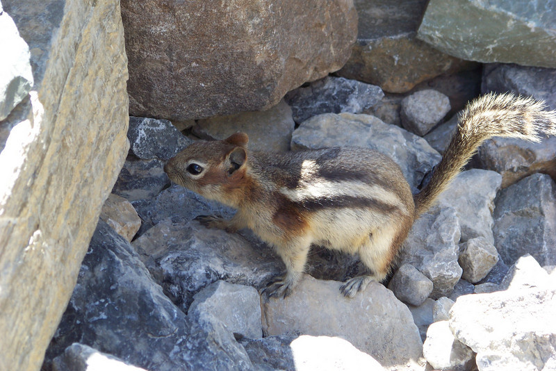 Another Golden-mantled Ground Squirrel looking for handouts