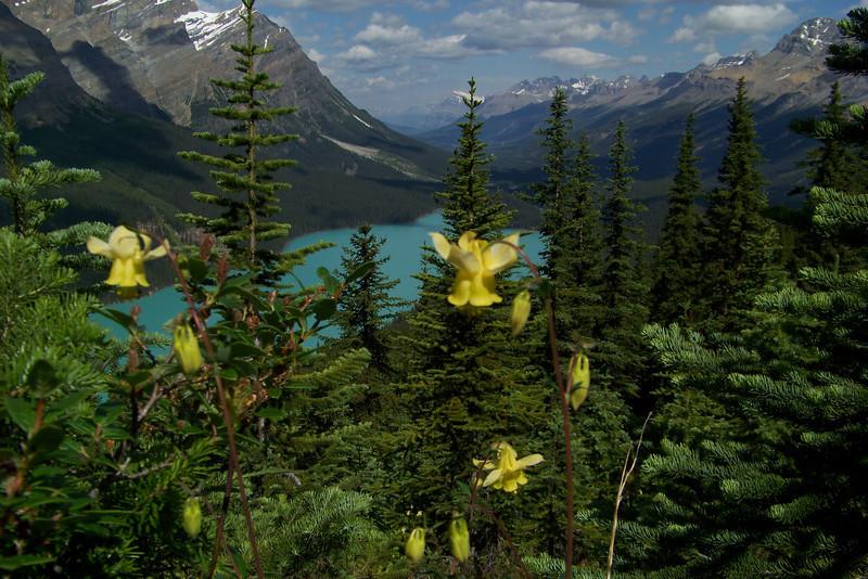 Yellow Columbine (Aquilegia flavescens) in front of Peyto Lake