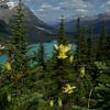 Yellow Columbine (Aquilegia flavescens) in front of Peyto Lake