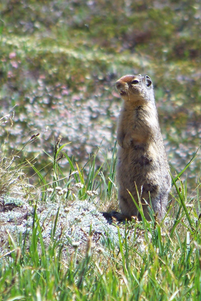 A lactating female Columbian Ground Squirrel sounds the alarm as we pass her.