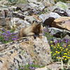 Hoary Marmot in the sun, surrounded by salad fixins