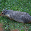 Columbian Ground Squirrel (Urocitellus columbianus) hangin' out at the Post Hotel