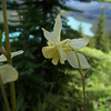 On the trail back down from the high overlook of Peyto Lake, we see Yellow Columbine (Aquilegia flavescens).