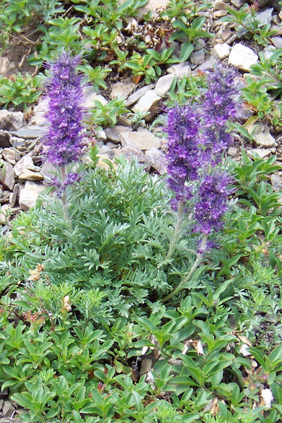 This Silky Phacelia (Phacelia sericea) is growing in an avalanche path.