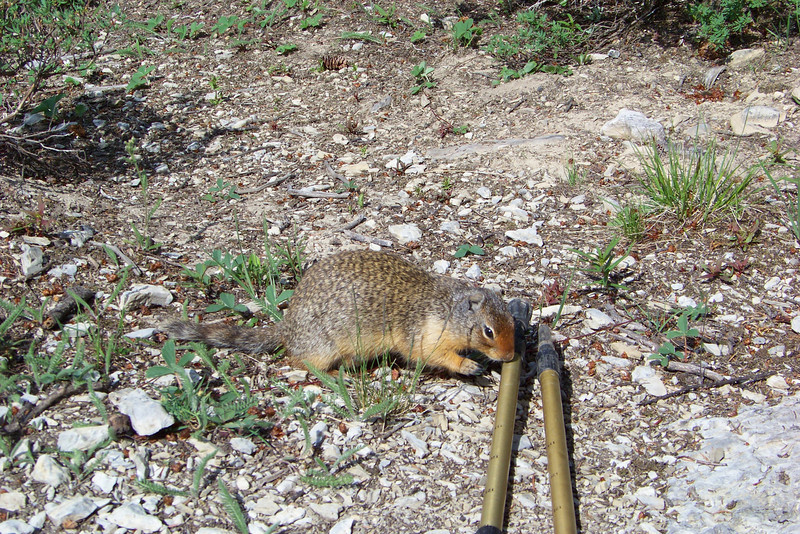 This Columbian Ground Squirrel is intrigued by the rubber tip on Jeane's hiking stick, and attempts to run off with it several times.