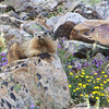 The avalanche path, with its moisture and meadow flowers, provides a nice buffet for the marmots.