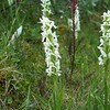 Our hike completed, we head to our hotel for the night (Num-Ti-Jah on the shores of Bow Lake), where we find this Tall White Bog Orchid (Platanthera dilatata)
