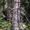 Day 3: July 25th.  We begin a hike from Moraine Lake to Eiffel Lake in the Valley of the Ten Peaks, guided by Joel Hagan, of Great Divide Nature Interpretation.  Joel stops us to point out some sapsucker damage to this tree.