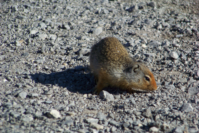 The trail is swarming with Columbian Ground Squirrels; I'm sure they get plenty of junk food at this popular viewpoint.