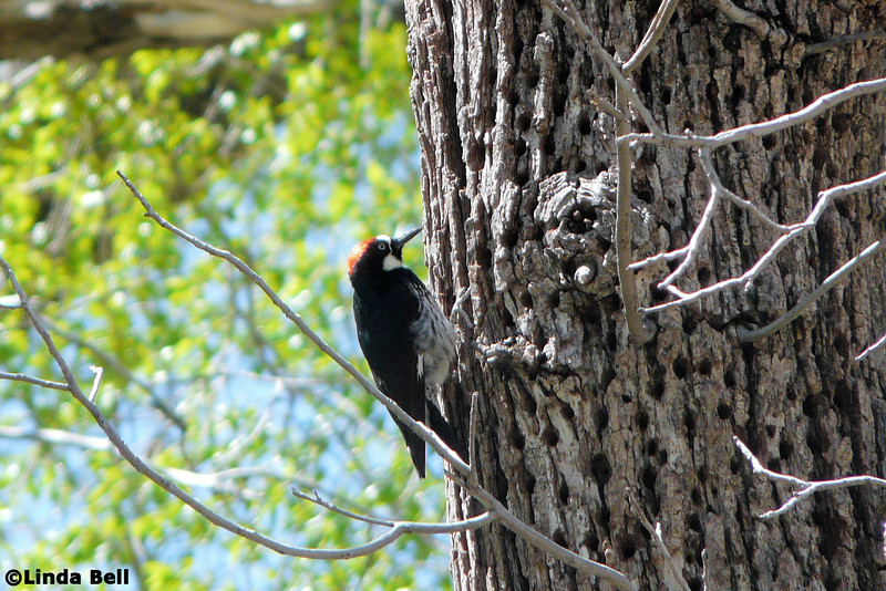 We drive up Oak Creek Canyon for our hike on the West Fork trail, and find the parking lot entirely full...so while Jeane waits for a spot to open up, this Acorn Woodpecker entertained the rest of us.  Photo by Linda