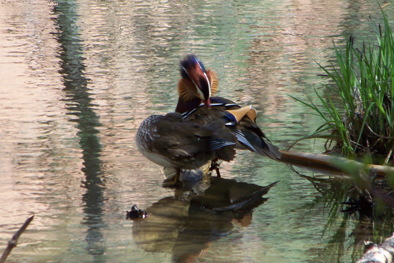 We happen upon a breathtaking pair of Mandarin Ducks preening together, so we stop and gawk for awhile.