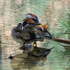 Mandarin Ducks -- as if it isn't obvious, the Mandarin Duck is closely related to our North American Wood Duck.