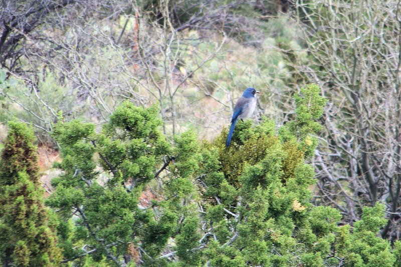 Day 8:  April 23 - We see a Western Scrub Jay while waiting for our breakfast at the Penrose B&B.