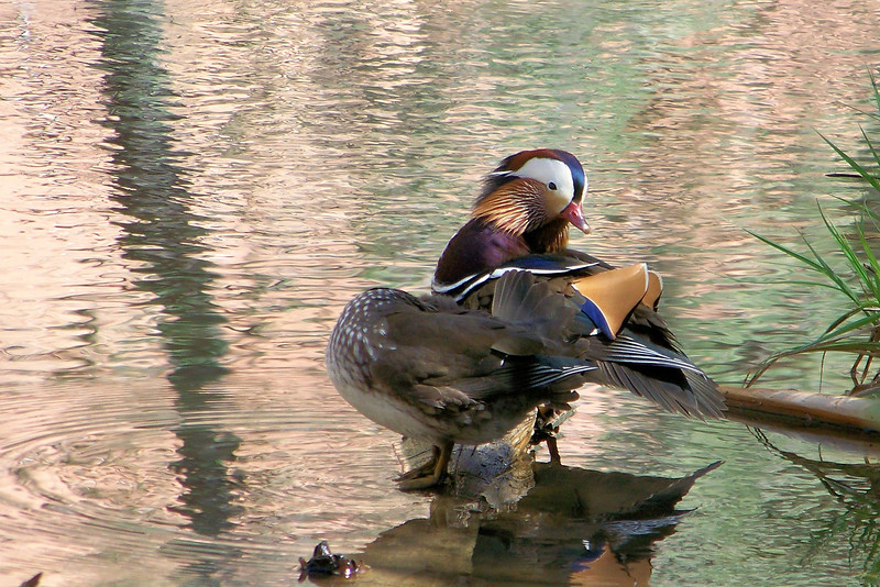 Mandarin Ducks are native to Eastern Asia, and small populations in the US are from captive birds who escaped, so we're pretty darned lucky to see them!