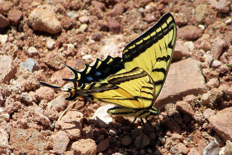 Pretty little swallowtail on the trail...