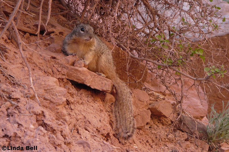 These not-afraid-of-humans-anymore Rock Squirrels are responsible for sending more people to the emergency room than any other animal in the Grand Canyon.  Photo by Linda