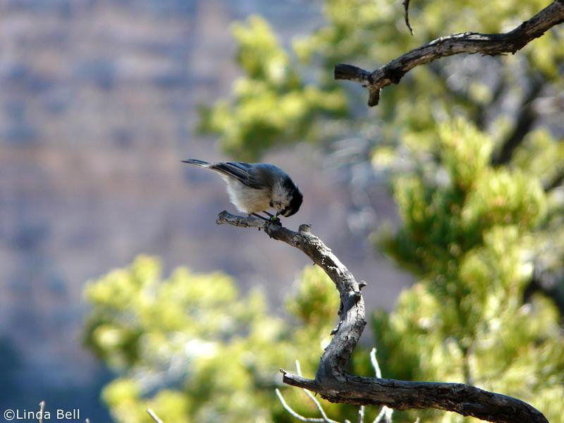 Mountain Chickadee (courtesy of Linda)