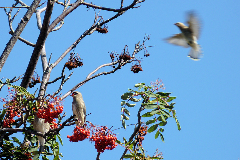 Here comes a late arrival to the Cedar Waxwing convention...he'd better hurry!