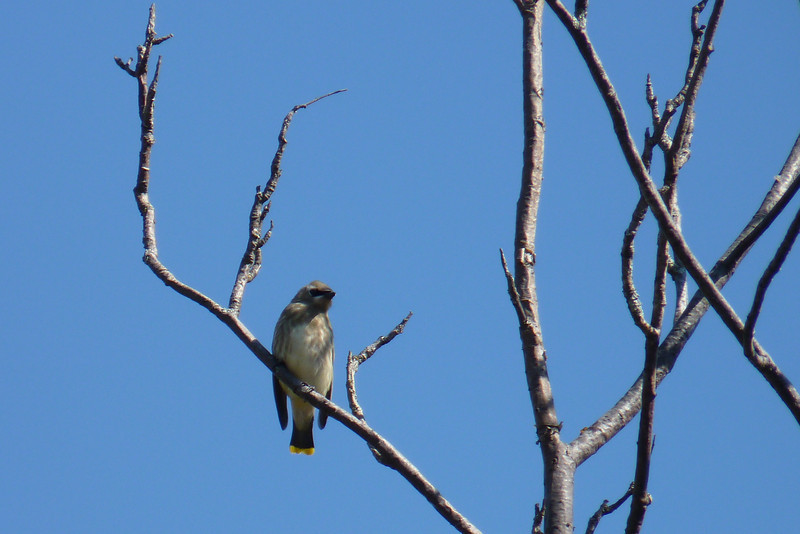This Cedar Waxwing gives us a nice look at his yellow tail tip.