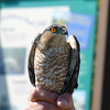 Sharp-shinned Hawk at Hawk Ridge