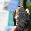 The next victim at the banding station is another Sharp-shinned Hawk, but this one is an adult.