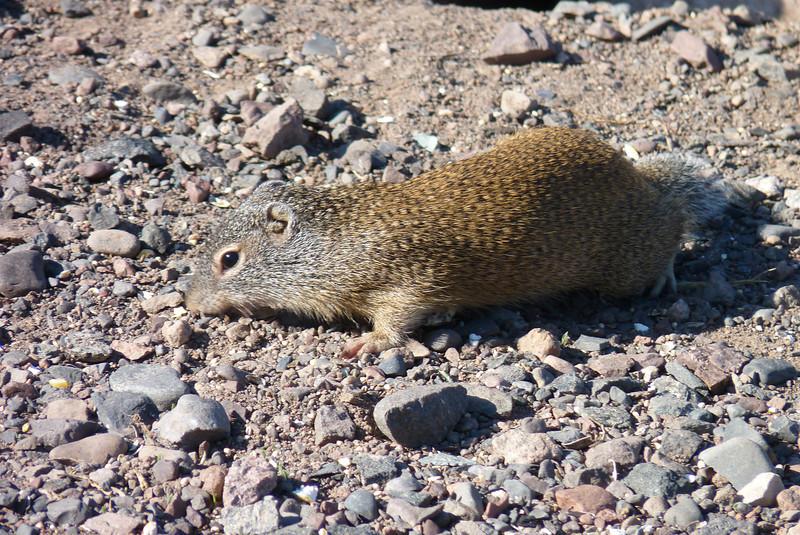 Franklin's Ground Squirrel ( Spermophilus franklinii )