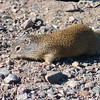Franklin's Ground Squirrel ( Spermophilus franklinii )