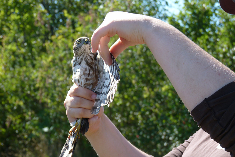 The interpreter gives us a bit of an education on Sharp-shinned hawks.