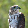 Sharp-shinned Hawk who has just been banded at Hawk Ridge and is ready to be released.