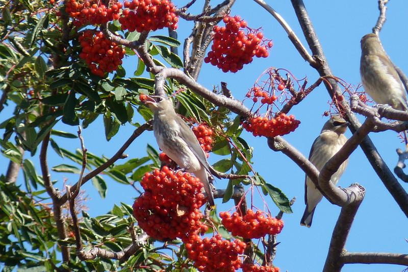 Cedar Waxwing gobbling Mountain Ash berries
