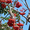 Cedar Waxwing gobbling Mountain Ash berries