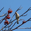 Juvenile Cedar Waxwing and Mountain Ash