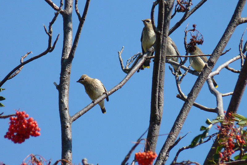 This rowdy bunch of juvenile Cedar Waxwings are eyeing the berries.