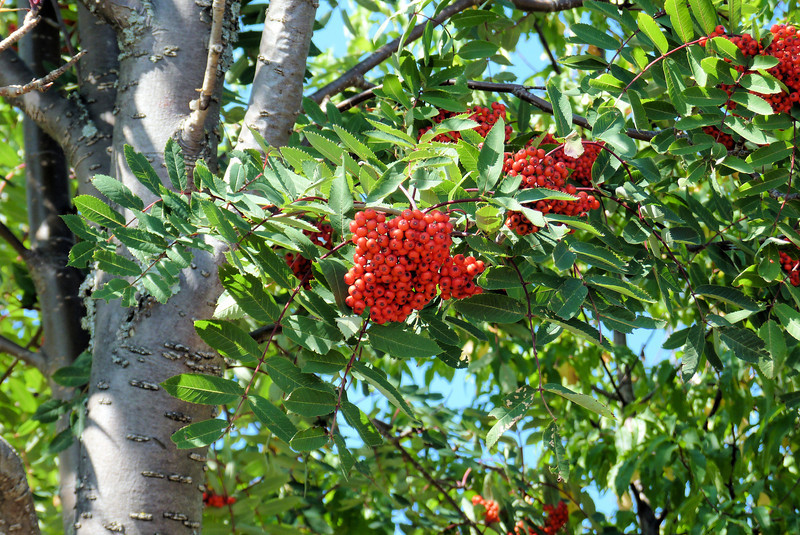 Many birds were feasting on the Mountain Ash.