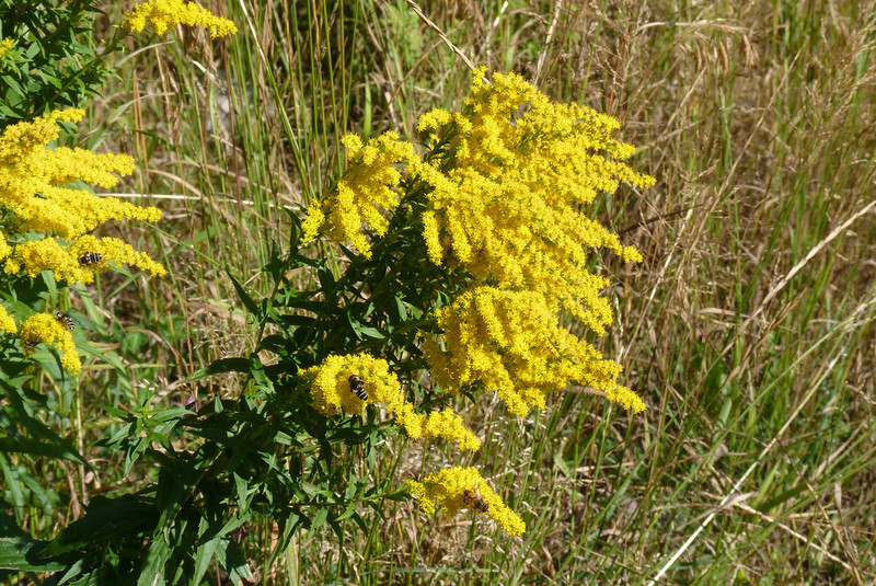 The goldenrod was blooming magnificently, and had many pollinators.